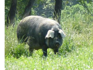 02da0d4be3 ... une viande bien rouge et très persillée. Nous les élevons pendant un  minimum de 12 mois (14 mois en moyenne). A ce moment là, ils pèsent environ  160 kg.